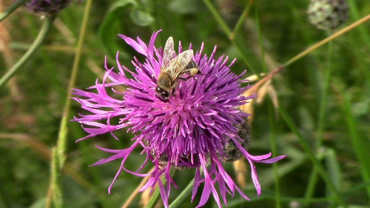 Honigbienen, Rotklee