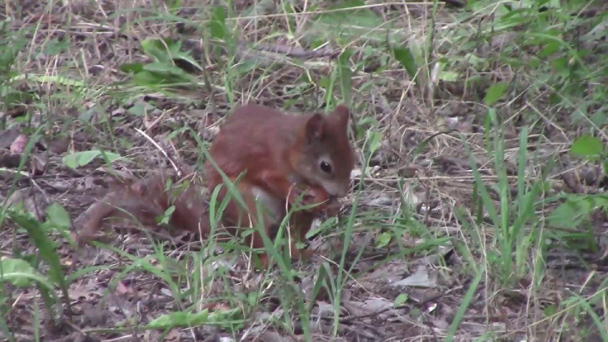 Eichhörnchen / Schönungsteich