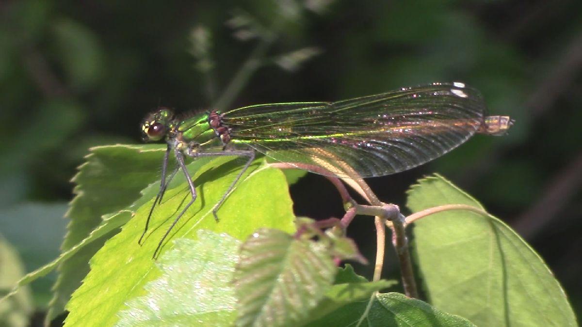 Gebänderte Prachtlibelle, Weibchen II